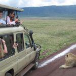 Volunteers Seeing a Lion on a Safari Tanzania