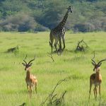 Gazelles and Giraffes in Tanzania